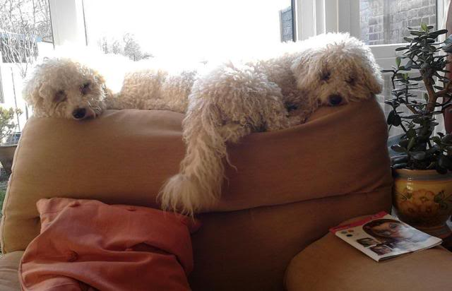 Benji and Oscar - 3 and 5 year old Bichon Frise pair O_B_On_Armchair_Back