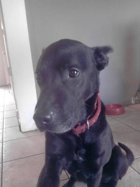 Ben, 4 (ish) years old, Labrador x P050312_1649_01