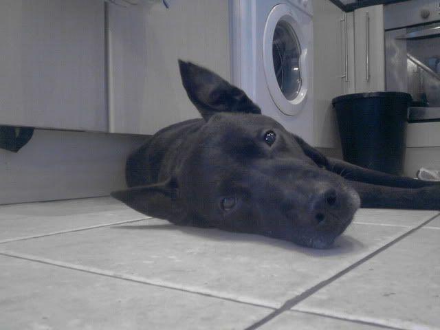 Ben, 4 (ish) years old, Labrador x P050312_1654_01