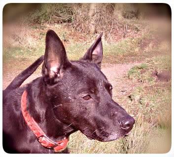 Ben, 4 (ish) years old, Labrador x P060312_1225_02-1