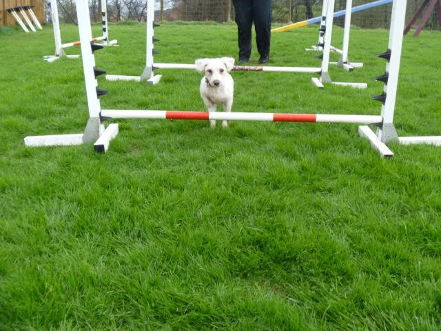 Cody - Handsome 3 year old Bichon Frise -  Small dog friendly and loves agility P1030097