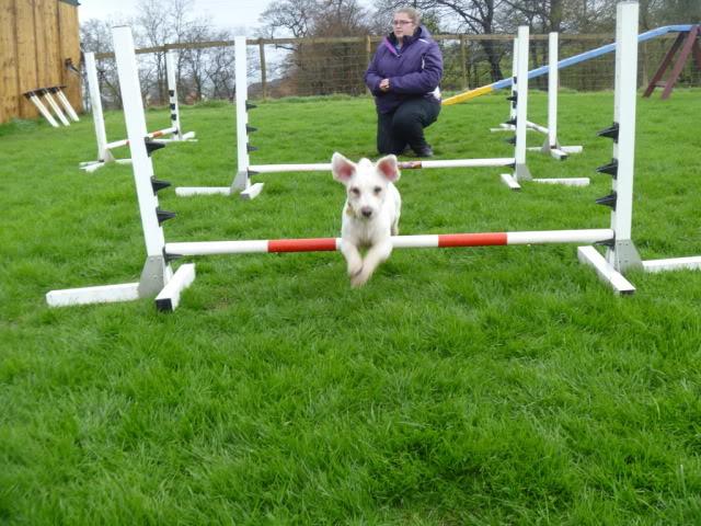 Cody - 3 year old Bichon Frise boy - Loves agility! P1030099
