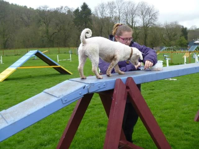 Cody - 3 year old Bichon Frise boy - Loves agility! P1030108