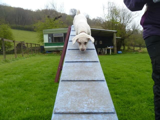 Cody - 3 year old Bichon Frise boy - Loves agility! P1030109