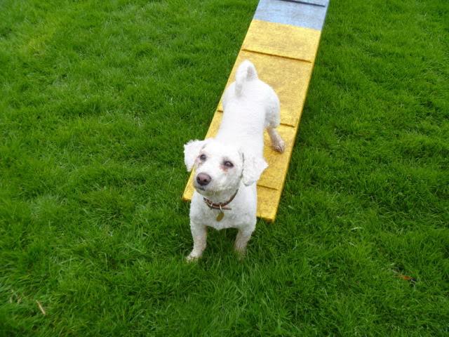Cody - 3 year old Bichon Frise boy - Loves agility! P1030110