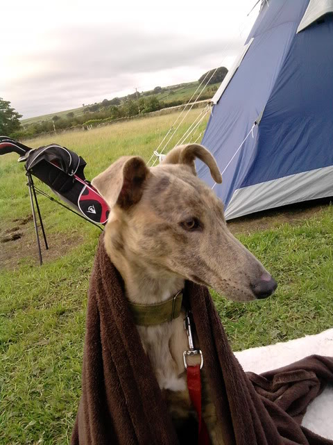 Belle - Stunning 9 month old Lurcher - fostered in Staffs P150912_1811_01