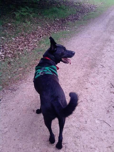 Ben, 4 (ish) years old, Labrador x P310512_1058_02