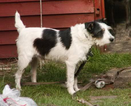 Charlie 7 year old Terrier needs a long term foster home PICT0022-5-1