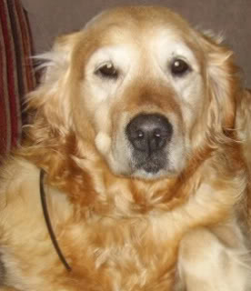 Amy - 7 1/2 year old Golden Retriever - good with kids, cats and dogs PICT0817
