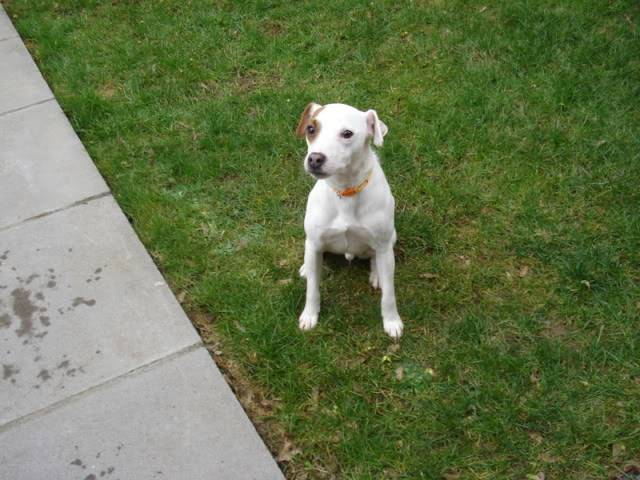 Bertie - 2 year old Parsons Jack Russell Terrier Bertieboy