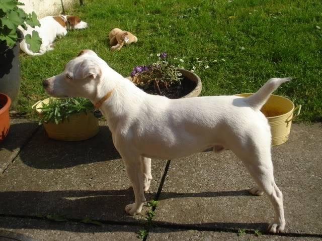 Bertie - 2 year old Parsons Jack Russell Terrier Bertieboy3