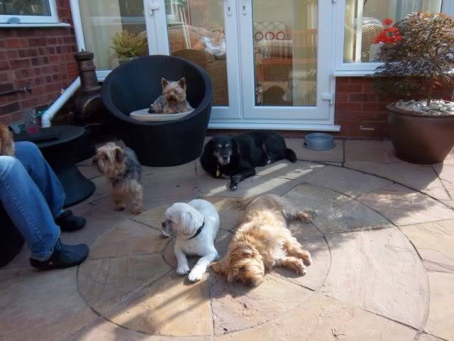 Charlie - 2 year old Shih Tzu - Fostered in Staffordshire Bobs108