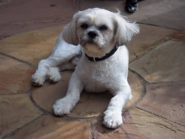 Charlie - 2 year old Shih Tzu - Fostered in Staffordshire Bobs116