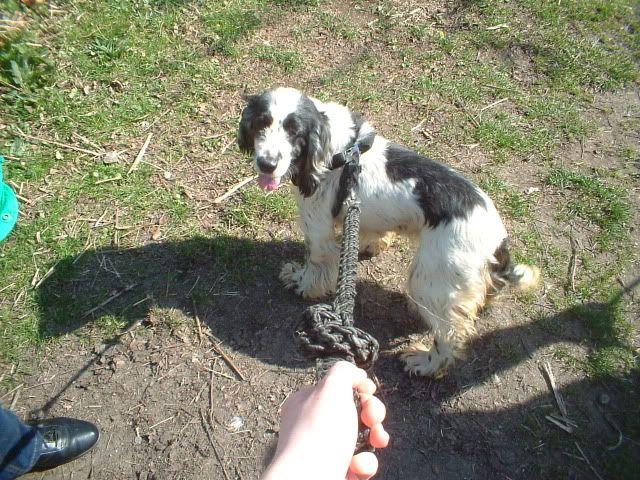 Elvie - 5 year old Cocker Spaniel girl - Good with dogs + older children 004