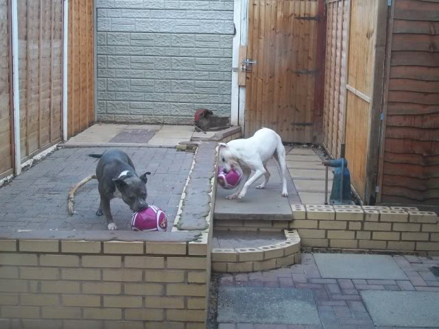 Eddie - 2 year old American Bulldog cross SBT - Good with dogs + older children 100_2092-1