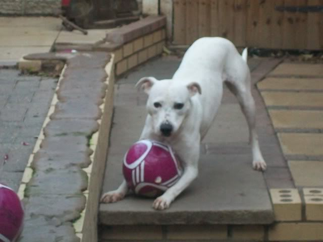 Eddie - 2 year old American Bulldog cross SBT - Good with dogs + older children 100_2095-1