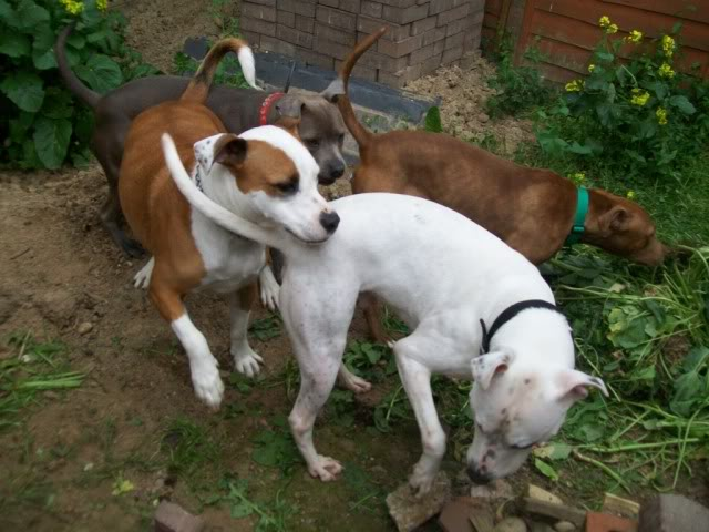 Eddie - 2 year old American Bulldog cross SBT - Good with dogs + older children 100_2351