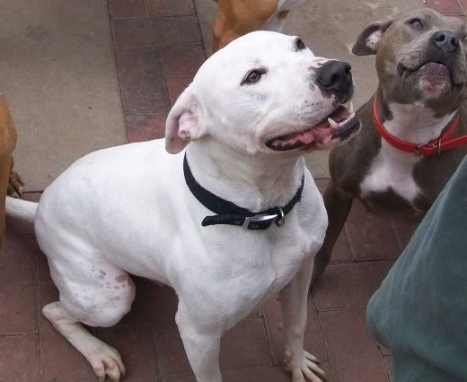 Eddie - 2 year old American Bulldog cross SBT - Good with dogs + older children 100_2353-Copy