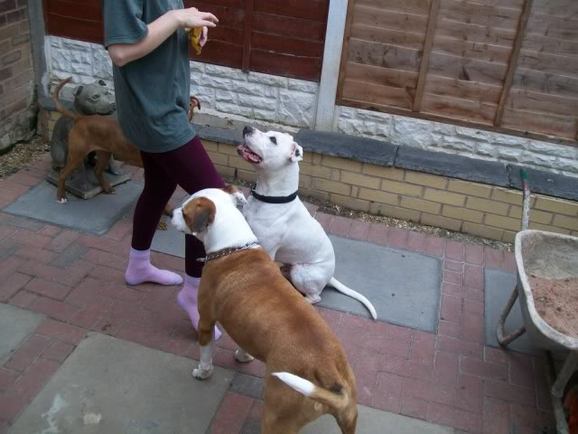Eddie - 2 year old American Bulldog cross SBT - Good with dogs + older children 100_2359