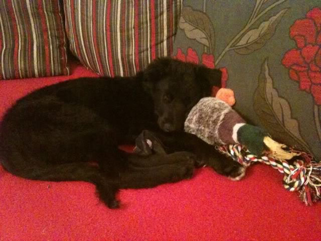 Emrys - 3 month old Border Collie boy (Fostered in Cheshire) 1170ada1