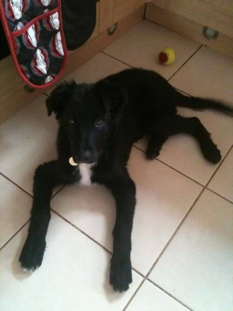 Emrys - 3 month old Border Collie boy (Fostered in Cheshire) 48a666df