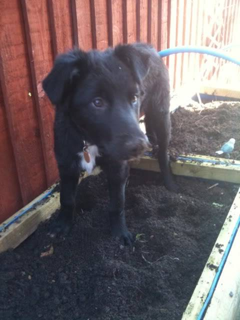 Emrys - 3 month old Border Collie boy (Fostered in Cheshire) 719adfcb