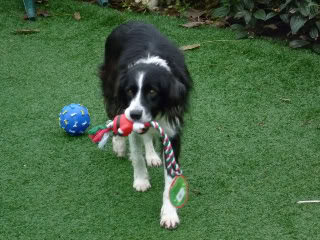 Ffion - 11 year old Border Collie cross Springer Spaniel -Good with dogs, kids + cats CopyofP1010568-1