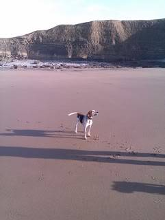 Dewi - 5 year old Harrier Hound - Good with kids over 5, cats and dogs Dewi24