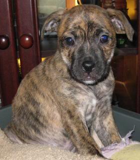 Dorothy - 8 week old SBT cross pup DorothyandPumpkin012