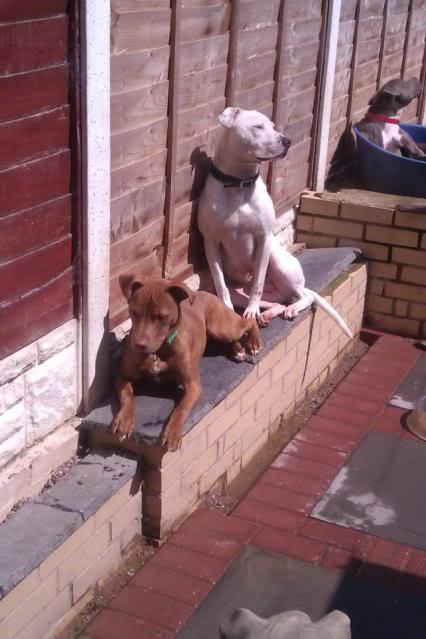 Eddie - 2 year old American Bulldog cross SBT - Good with dogs + older children EddieandPeanut