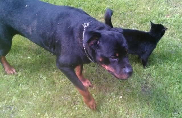 Ellie - 8 year old Rottweiler - Child, cat and dog friendly! (In Berks) Ella04