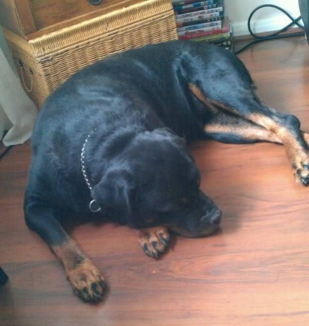 Ellie - 8 year old Rottweiler - Child, cat and dog friendly! (In Berks) Ella06