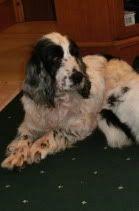 Elvie - 5 year old Cocker Spaniel girl - Good with dogs + older children Elvie04