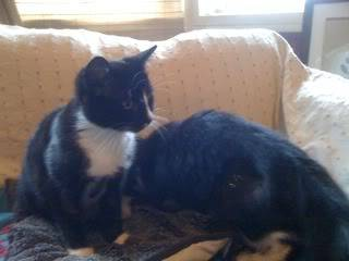 Willow and Essmie - 5 month old DSH sweethearts! - Fostered in London Essmie02-1