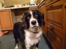 Ffion - 11 year old Border Collie cross Springer Spaniel -Good with dogs, kids + cats Ffion01