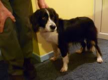 Ffion - 11 year old Border Collie cross Springer Spaniel -Good with dogs, kids + cats Ffion02