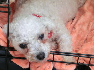 Freda - 4 year old Bichon Frise - Fostered in Somerset Freda01