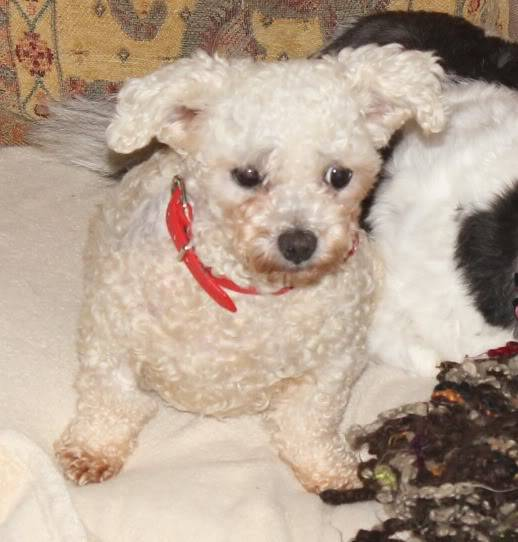 Freda - 4 year old Bichon Frise - Fostered in Somerset Freda05-Copy