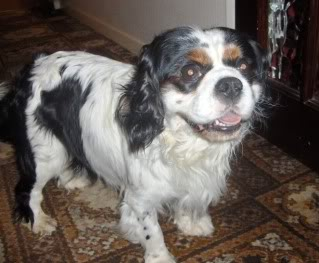 Dylan - 5 year old KCCS - child and dog friendly - very sweet boy! HPIM2338
