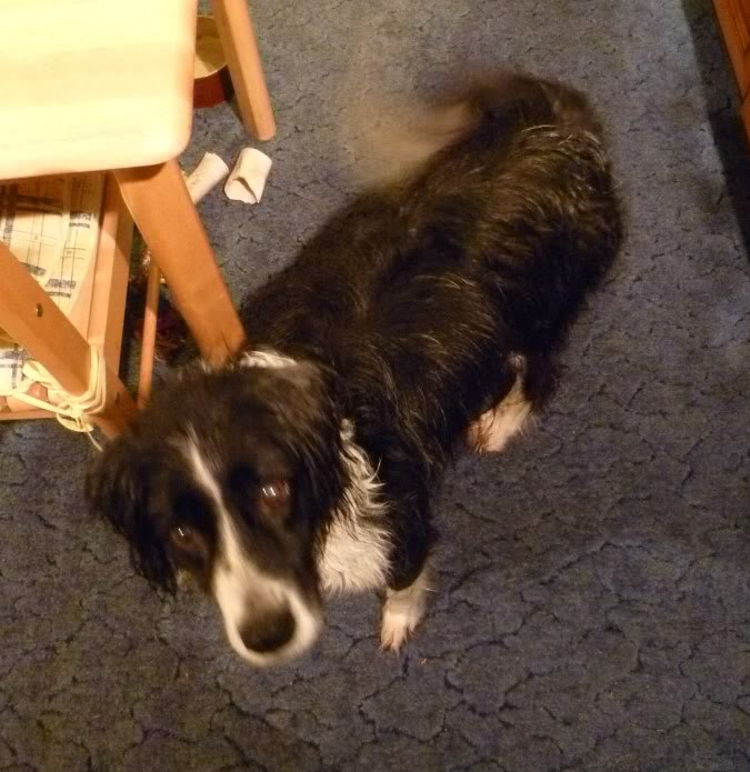 Ffion - 11 year old Border Collie cross Springer Spaniel -Good with dogs, kids + cats P1010472