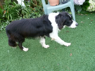 Ffion - 11 year old Border Collie cross Springer Spaniel -Good with dogs, kids + cats P1010496