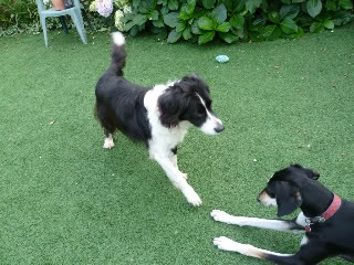 Ffion - 11 year old Border Collie cross Springer Spaniel -Good with dogs, kids + cats P1010498