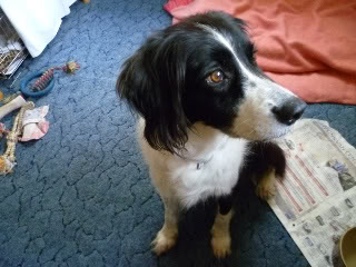 Ffion - 11 year old Border Collie cross Springer Spaniel -Good with dogs, kids + cats P1010504