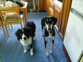 Ffion - 11 year old Border Collie cross Springer Spaniel -Good with dogs, kids + cats P1010514