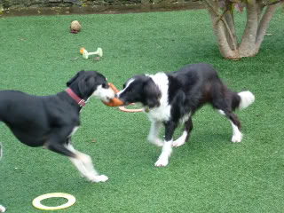 Ffion - 11 year old Border Collie cross Springer Spaniel -Good with dogs, kids + cats P1010551