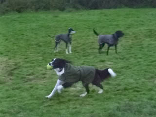 Ffion - 11 year old Border Collie cross Springer Spaniel -Good with dogs, kids + cats P1010552-1