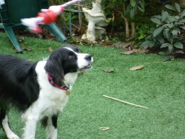 Ffion - 11 year old Border Collie cross Springer Spaniel -Good with dogs, kids + cats P1010572