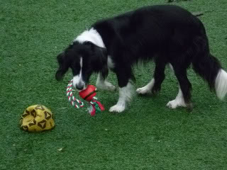 Ffion - 11 year old Border Collie cross Springer Spaniel -Good with dogs, kids + cats P1010576