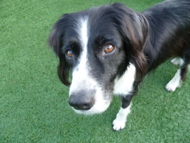Ffion - 11 year old Border Collie cross Springer Spaniel -Good with dogs, kids + cats P1010589