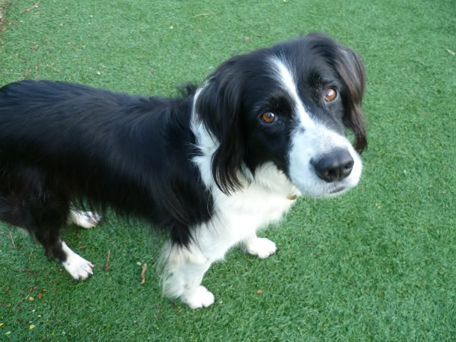 Ffion - 11 year old Border Collie cross Springer Spaniel -Good with dogs, kids + cats P1010590